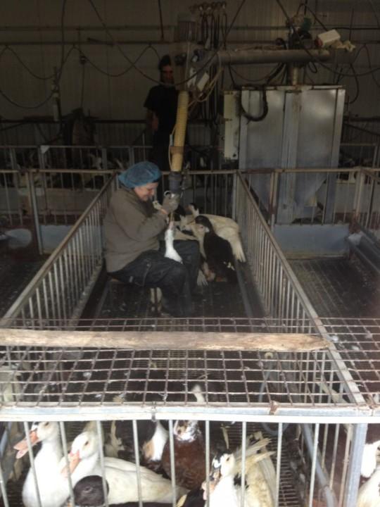 A foie gras farmer feeding her ducks. Photo by Michael Ruhlman.
